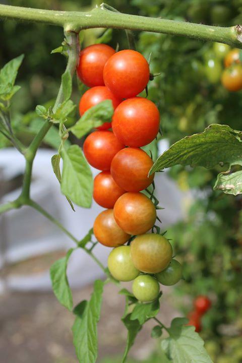 Il nostro orto continua a donarci i suoi frutti …